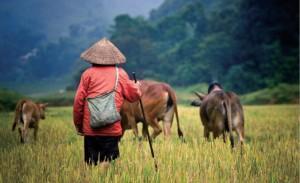 Vietnam_-_Buffalo_shepherd